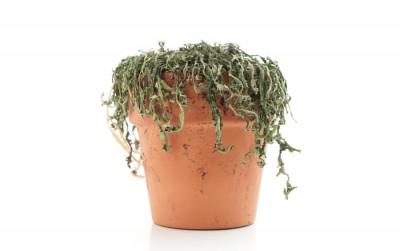 dead-plant-400x251